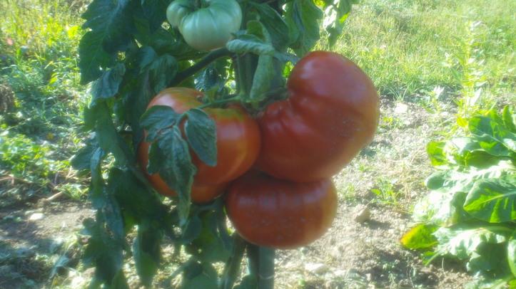 Tomates bio moyenne 800 grammes