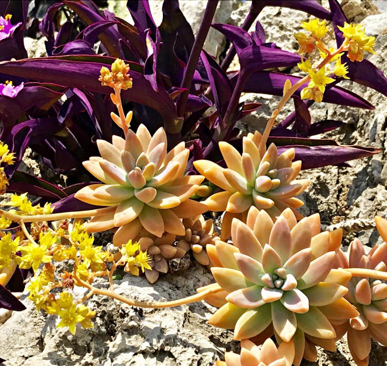 Echeveria en fleurs jaunes et tradescantia pallida (misère pourpre) espèces succulentes originaires du Mexique et de l'ouest de l'Amérique du Sud. Photo (c) Charlotte Longépé