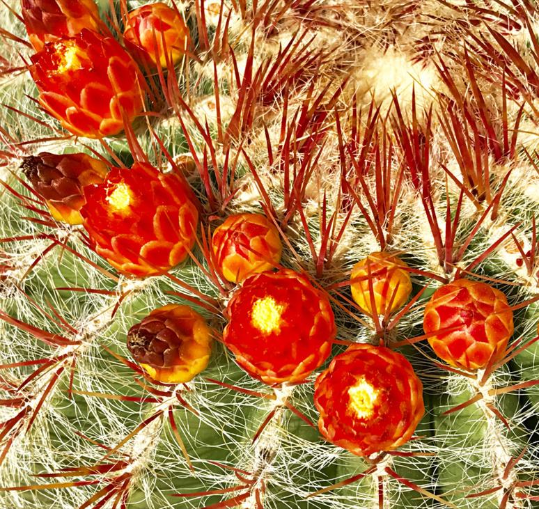 Echinocactus grusonii (coussin de belle-mère) une espèce du Mexique très connue de cactus. Photo (c) Charlotte Longépé