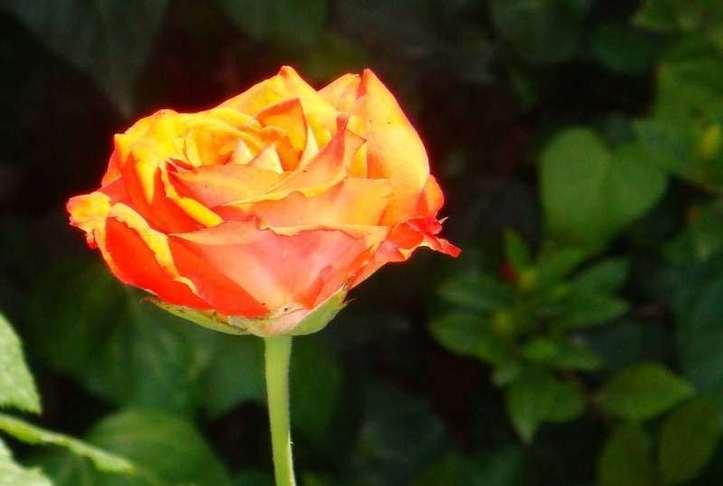 Une fleur à vous ! Photo (C) Ibrahim Chalhoub