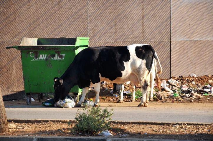 Quelqu'un a besoin de meugler? Photo (C) Ibrahim Chalhoub