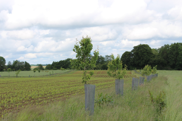 Parcelle agroforestière de 7 ha plantée en février 2016, Saint-Martin-de-Mieux, Calvados. © J. P.