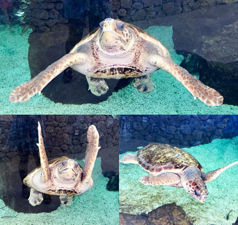 Tortues caouanne nageant dans son bassin face à la Méditérranée. Photo montage (c) Charlotte Longépé.