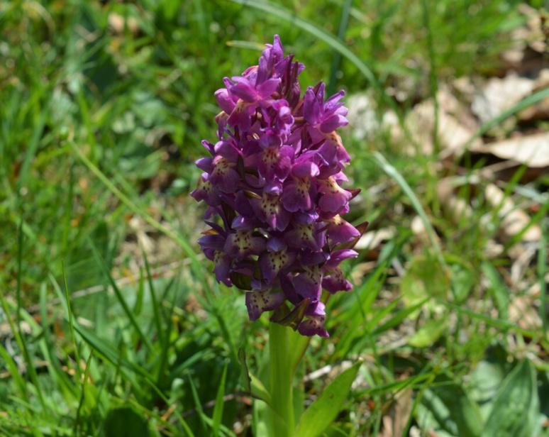 L'Orchis sureau (c) Frédérique Gelas