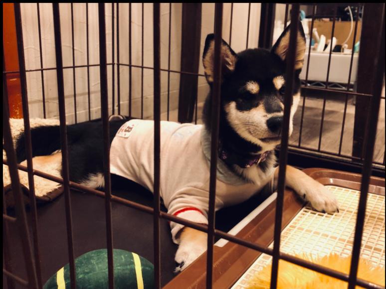 Un shiba inu dans une cage ©Florent Guérout