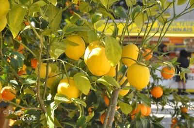 La 79e Fête du Citron 2012 à Menton