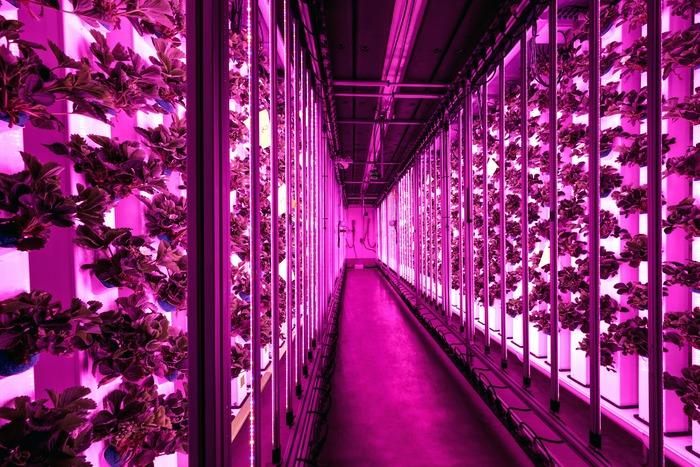 L'intérieur d'un cooltaineur Agricool, où des fraises poussent sous des lampes LED. Crédit photo: Agricool
