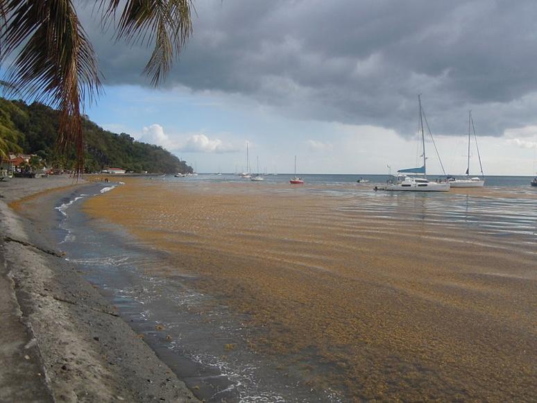 Les sargasses vivent en pleine mer et sont transportées par les courants marins de l'océan Atlantique. Patrice78500. Wikimedia commos.