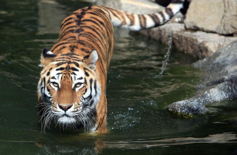 Un tigre sauvage de Sibérie dans l'eau © Wikipedia
