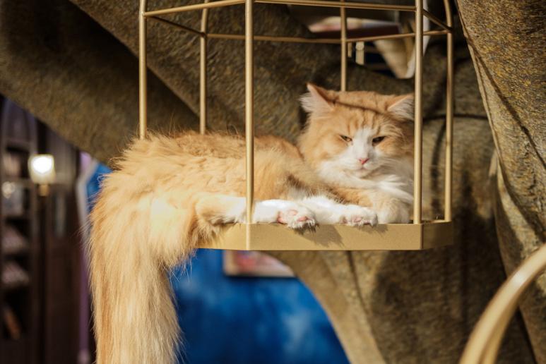 Des perchoirs permettent aux chats de se tenir à une distance relative des clients. ©Florent Guérout