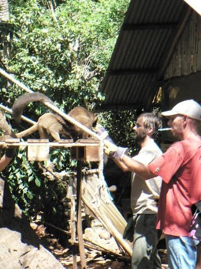 Appât par nourriture pour une capture manuelle des makis à examiner par Christian Schuller, vétérinaire (avec le képi) et Franck Charlier, secrétaire de l'association MKZ (c) MKZ