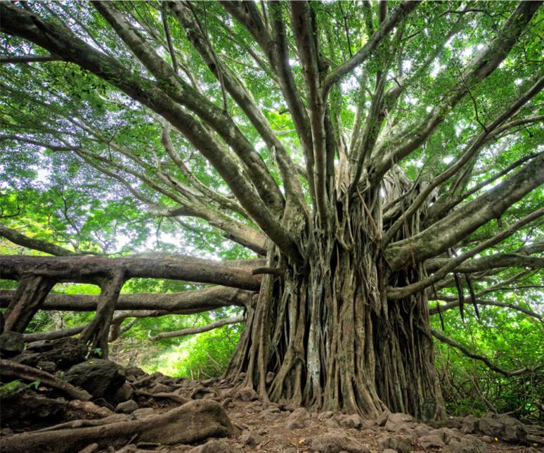 """""""Elle est essentiellement constituée d'arbres plus ou moins hauts (pas de lianes, ni d'épiphytes, ni d'herbes, à l'exception de la fougère Acrostichum aureum) offrant un aspect assez extraordinaire, car certaines parties de leur appareil racinaire, non dissimulées dans la vase, forment des dispositifs étranges, très visibles à marée basse."""" Encyclopédie Universalis en ligne/© Brandon Green, Unsplash"""