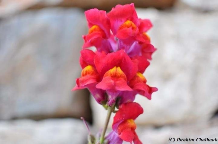 Vous aimez les fleurs? Photo (C) Ibrahim Chalhoub