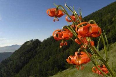 Le lis turban est présente dans la région méridionale du Parc National du Mercantour. Photo (c) F. Tomasinelli
