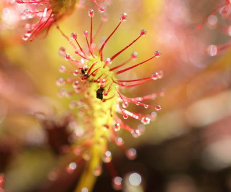 Des insectes piégés par un drosera dans les tourbières. / © Ronan Le Mener, Association Cicindèle