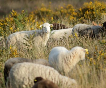 Les moutons, de même que d'autres animaux, participent à l'entretien de la lande. / © Ronan Le Mener, Association Cicindèle