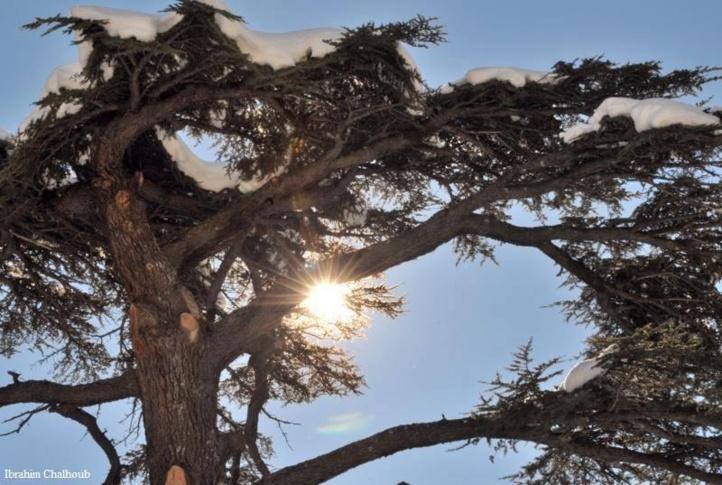 L image du jour le c dre du liban - Cedre bleu du liban ...