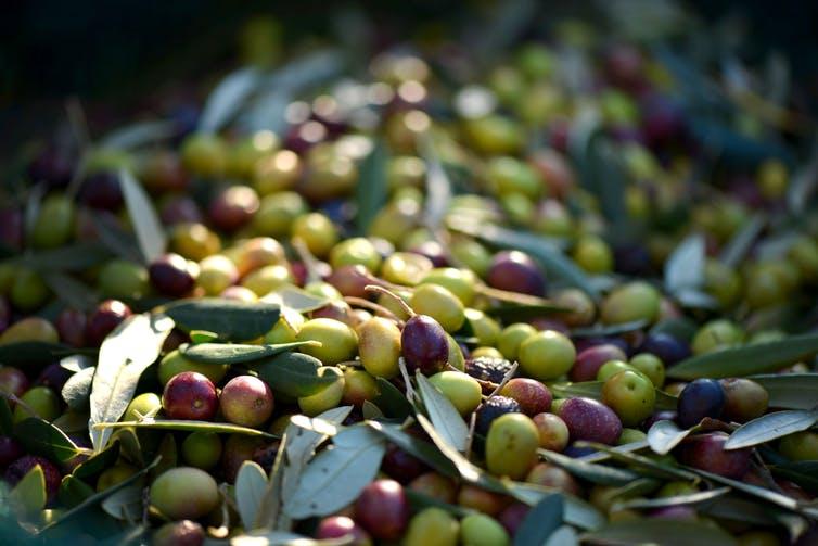 De nombreux facteurs influent sur les teneurs des différentes molécules présentes dans les olives. Pxhere