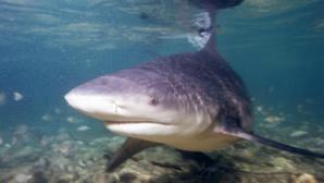 Requin bouledogue. Photo (c) Albert Kok