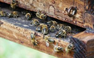 Des abeilles à l'entrée de leur ruche. Photo (c) Onésime. Image du domaine public.
