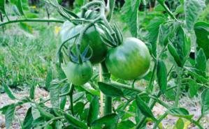Pied de tomate. Photo (c) A. Hubert