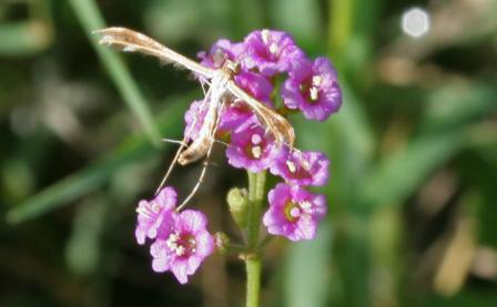Boerhavia diffusa ou Punarnava. Photo (c) J.M. Garg