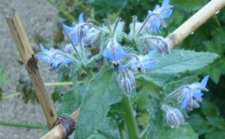 Fleur de Bourrache. Photo (c) A. Hubert