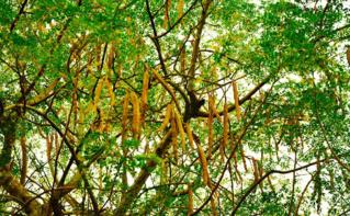 Arbre moringa en Tanzanie. Photo (c) Prof. Chen Hualin