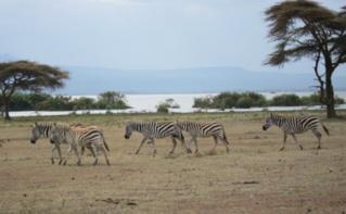 Des zèbres dans la réserve de Naivasha - Kenya. Photo (c) Pierre Buingo, septembre 2013