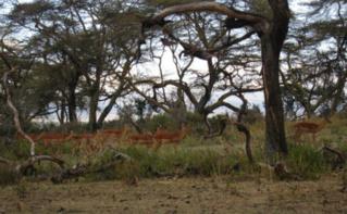 Des antiloppes dans la reserve de Naivasha, Kenya. Photo Pierre Buingo, septembre 2013