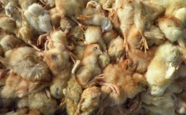 Cadavres de poussins. Photo (c) L214