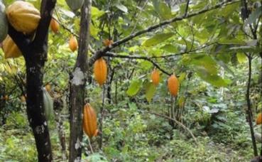 Une plantation de cacao. Image du domaine public.