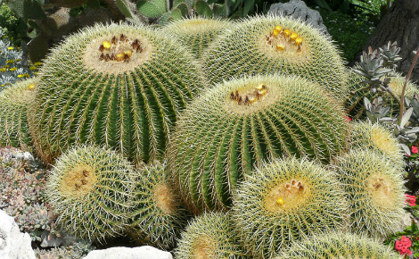 Echinocactus. Photo (c) Jardin exotique de Monaco