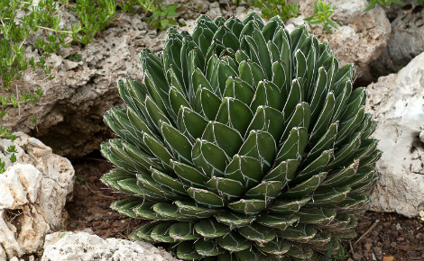Agave. Photo (c) Jardin exotique de Monaco