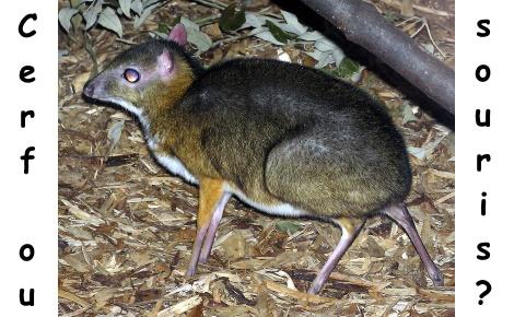 Cerf souris. Photo originale (c) Adrian Pingstone