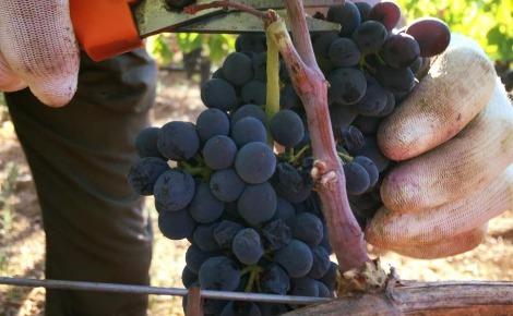 Récolte du raisin à Rocca Di Montemassi. Photo (c) Jaroslaw Pawlak