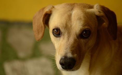 Pour protéger votre chien des parasites internes, pensez à bien le vermifuger au moins quatre fois par an avec un vermifuge adapté prescrit par votre vétérinaire. Image du domaine public.