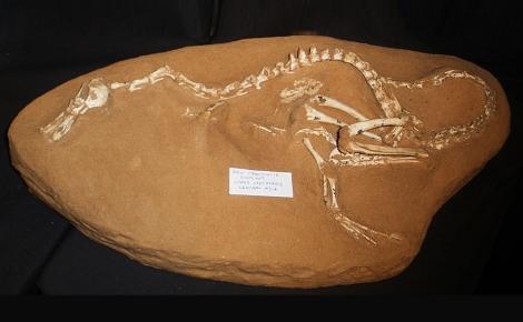 Halszkaraptor escuilliei. Photo (c) Ghedoghedo.