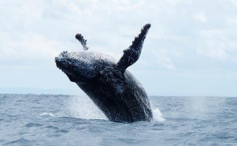 Baleine de Sainte Marie. Photo (c) Krishna Naudin