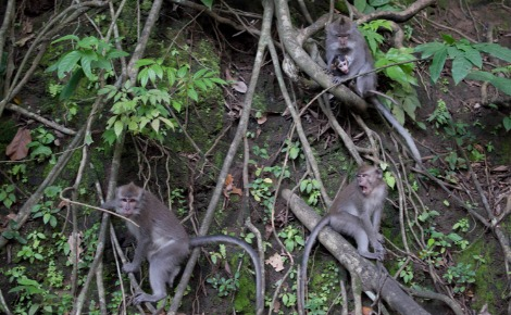 Singes dans la forêt tropicale. Photo (c) PR
