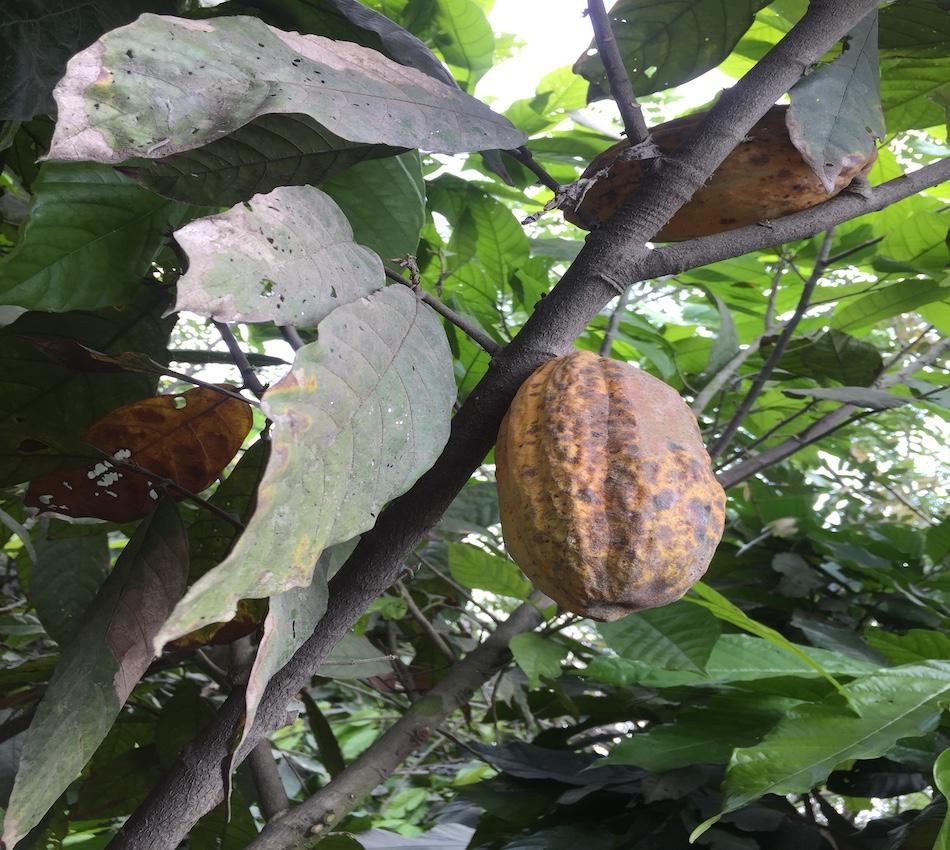 Dans la plantation de cacao du groupe Cemoi à Yopougon (c) Laurence Marianne-Melgard