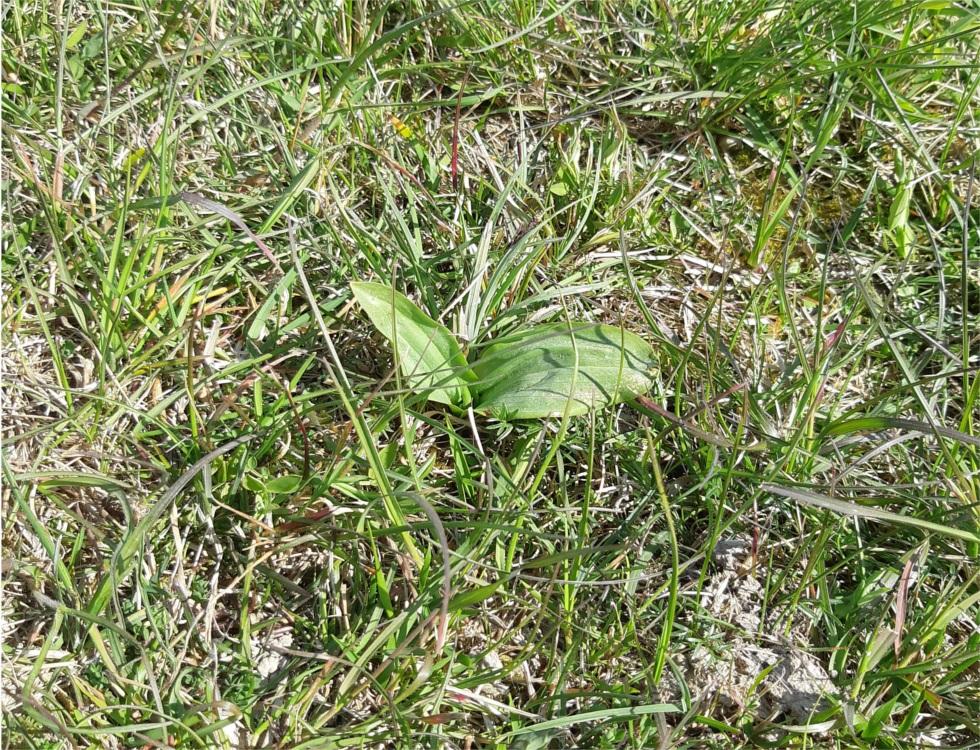 Orchidée, espèce très favorable au milieu et également appréciée au Moyen Âge (riche en amidon). (c) Ophélie Duriez