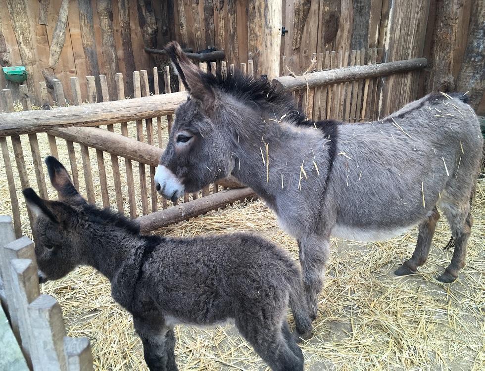 Une ânesse et son petit à la ferme des enfants. Photo (c) Anne-Sophie Leroy