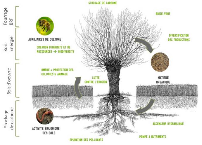 Schéma des interactions arbre-cultures dans un système agroforestier © Association française d'agroforesterie