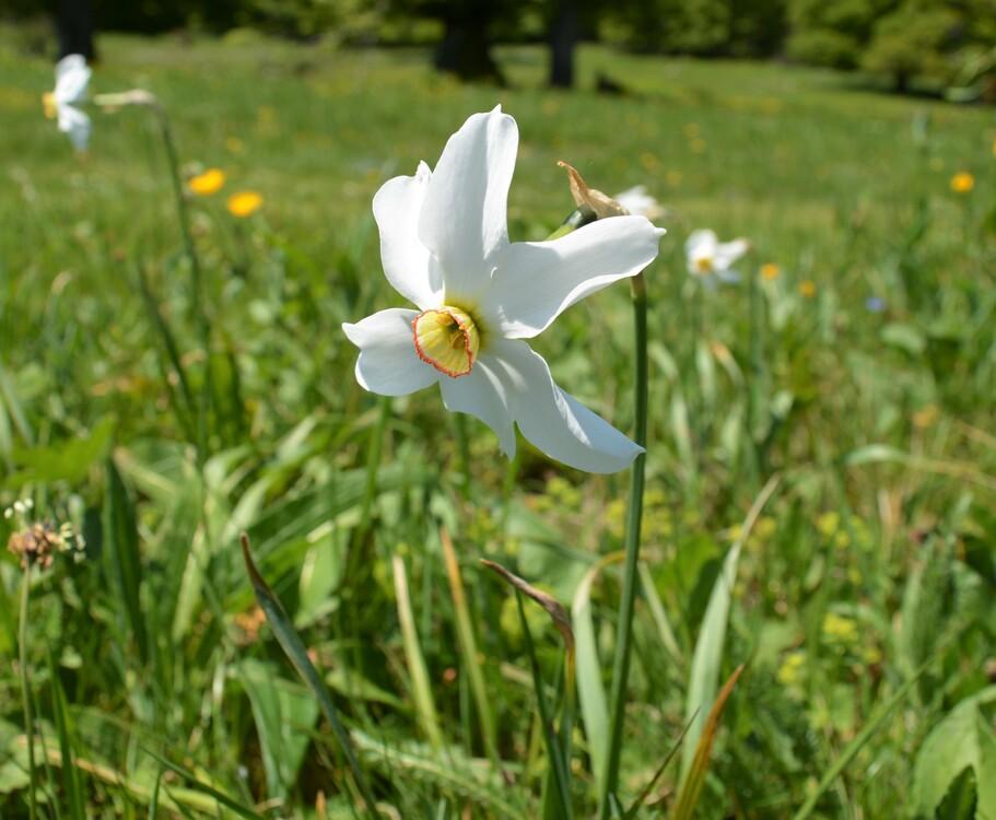 Des Narcisses jouxtant le refuge d'Ambel (c) Frédérique Gelas
