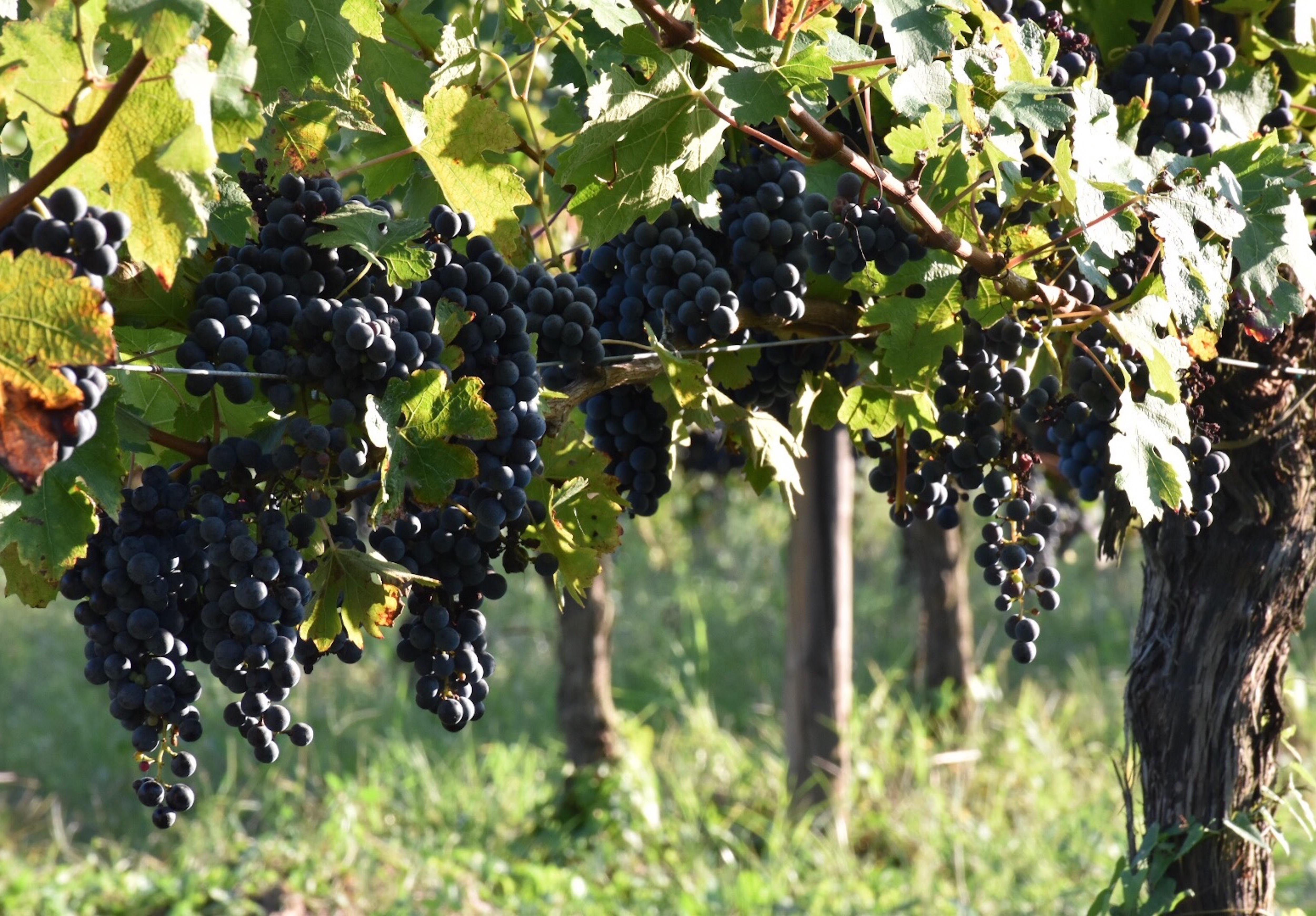 Pieds de vignes en bio. Photo©Audrey Gleonec
