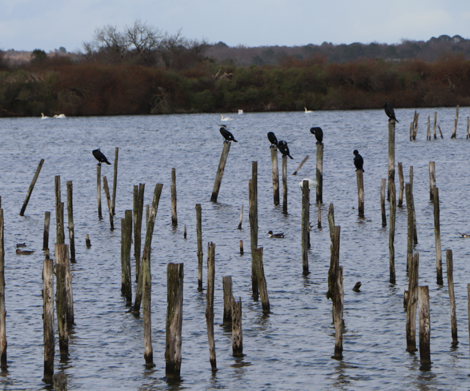Les cormorans sont des oiseaux de mer de la famille des phalacrocoracidae qui comptent 3 genres et 36 espèces. / © E.V.