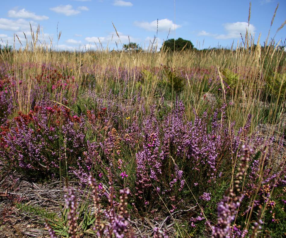 Les bruyères en fleur en été donnent leur aspect typique aux Landes de Locarn en été./ © Ronan Le Mener, Association Cicindèle