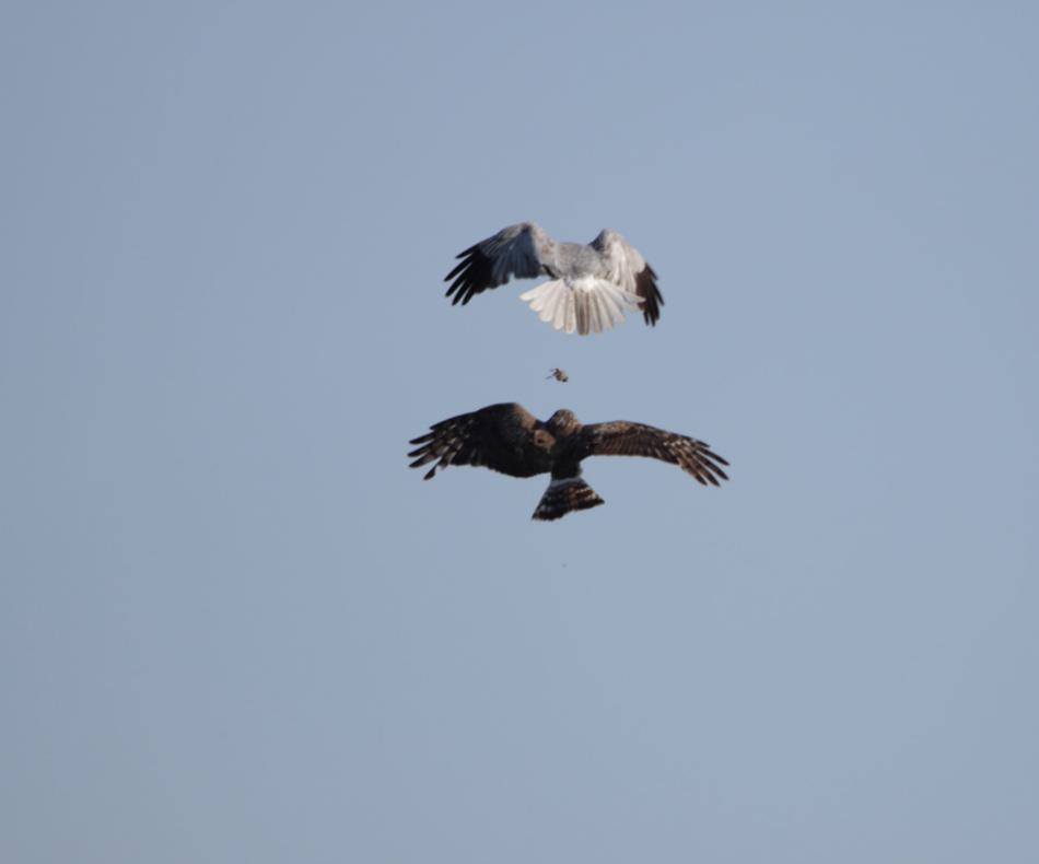 Echange de proie en plein vol entre un busard Saint-Martin mâle et un femelle./ © Ronan Le Mener, Association Cicindèle
