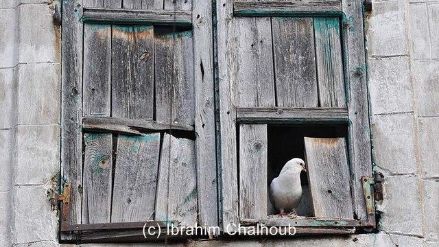 Les pigeons nous observent! Photo (C) Ibrahim Chalhoub